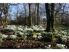 Snowdrops at Youngwoods Farm